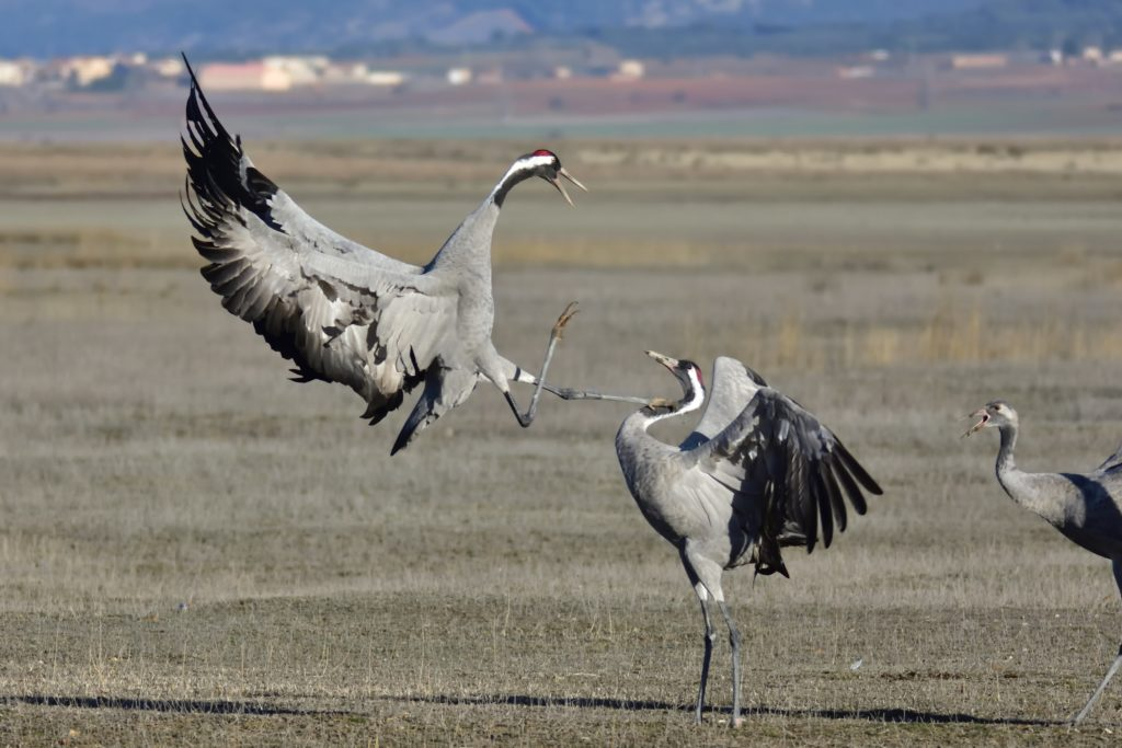 Chinese cranes fighting in Spring