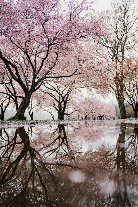 Wiosna wśród kwitnących wiśni